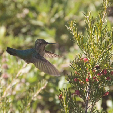 hummingbird, 2018
