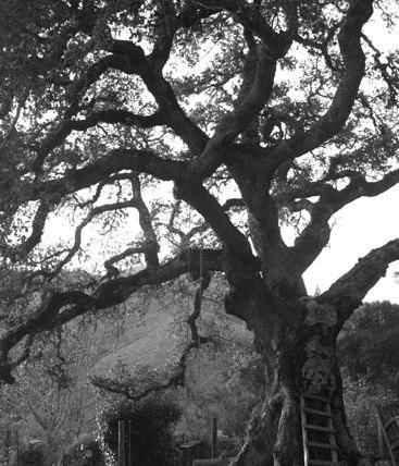 oak, 2018