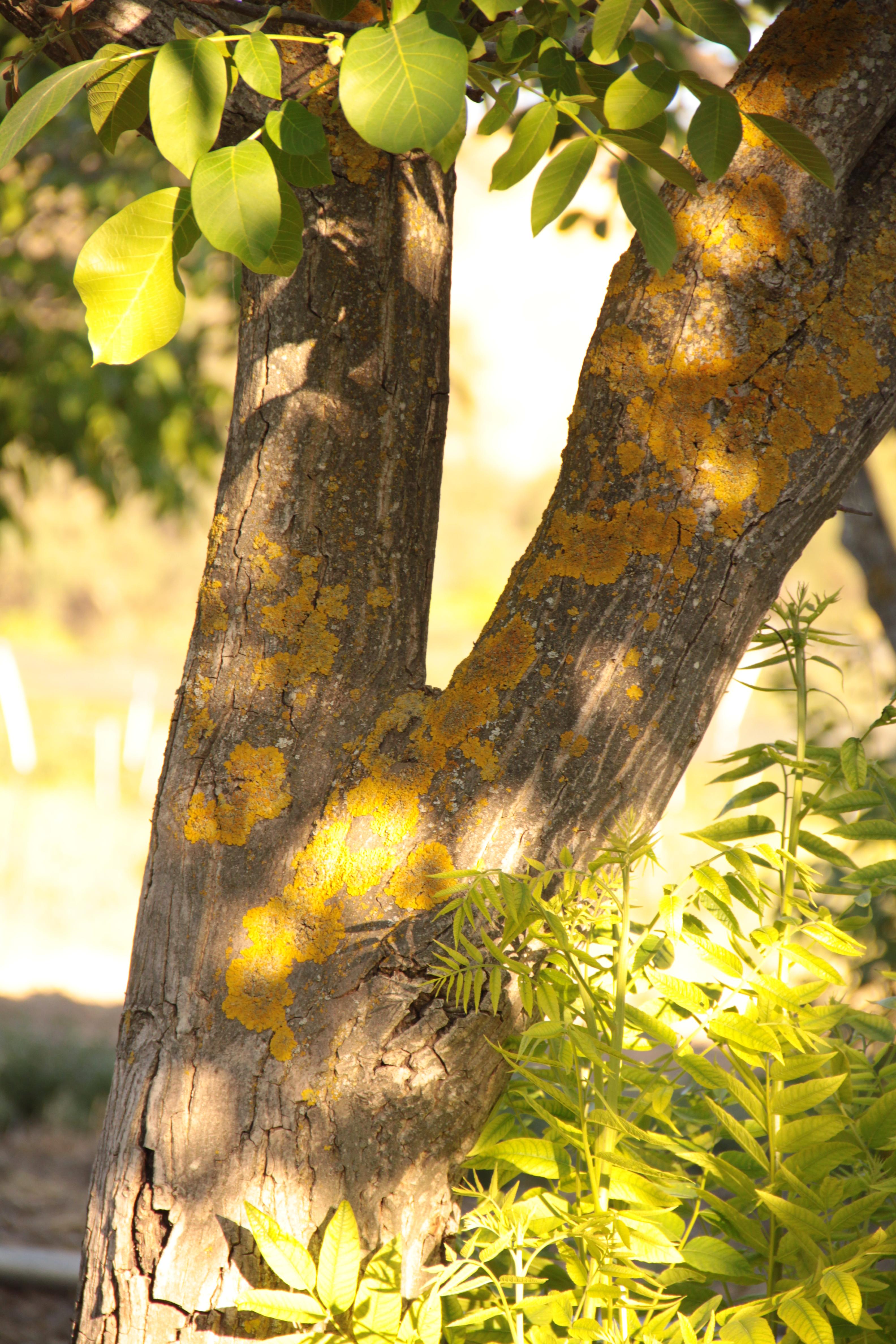 walnut graft leaves