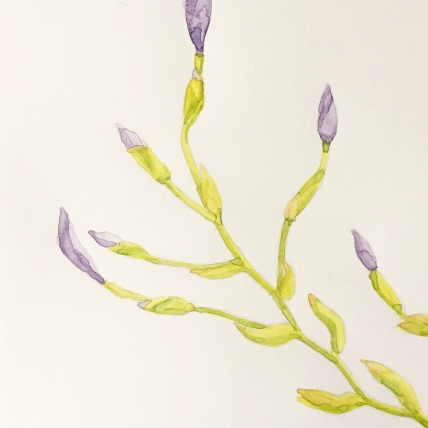 """branching iris"", watercolor on paper, 2018, 6""x8"""